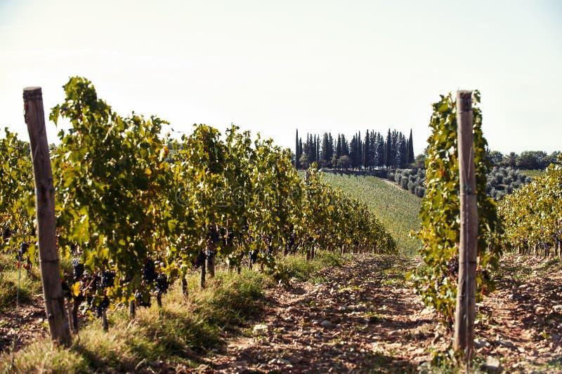Paisagem com os vales do vinhedo de Tuscanian em Itália fotografia de stock royalty free