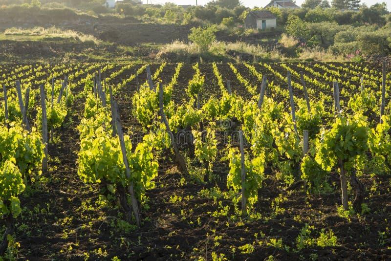 Paisagem com os vinhedos verdes na região do vulcão de Etna com solo rico mineral em Sicília, Itália foto de stock royalty free