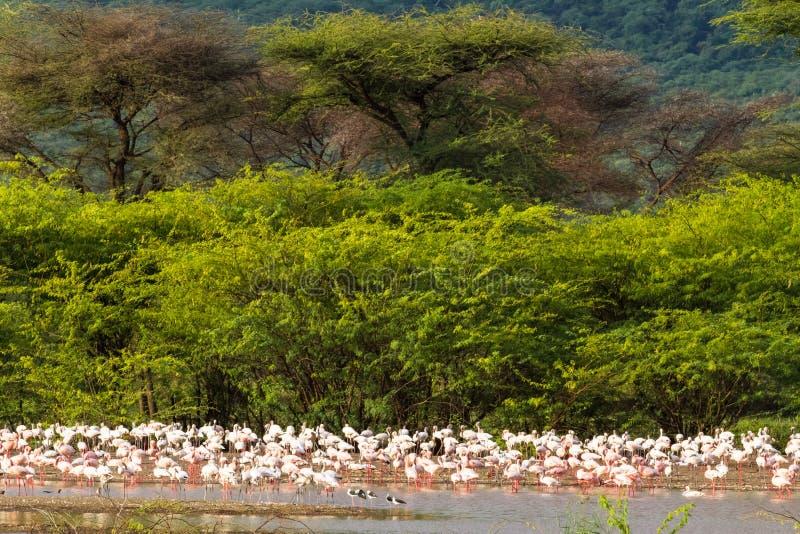 Paisagem com pássaros Flamingo do lago Baringo Kenya, África foto de stock royalty free