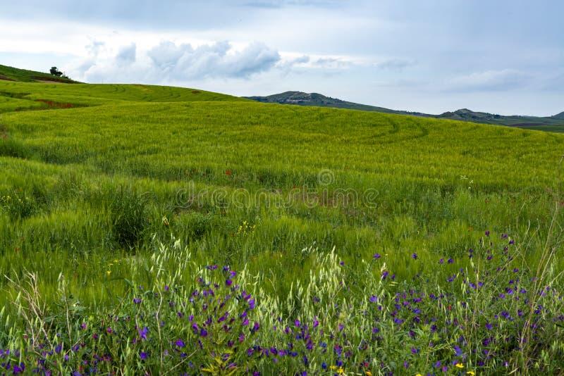 Paisagem com pastos e campos de trigo de florescência, Sicília, agricultura em Itália imagem de stock royalty free