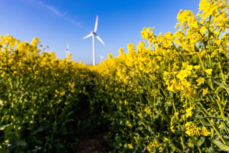 Paisagem com um campo da violação amarela com um céu sem nuvens azul e umas explorações agrícolas de vento ecológicas foto de stock