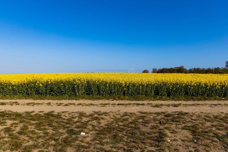 Paisagem com um campo da violação amarela com um céu sem nuvens azul e umas explorações agrícolas de vento ecológicas foto de stock royalty free