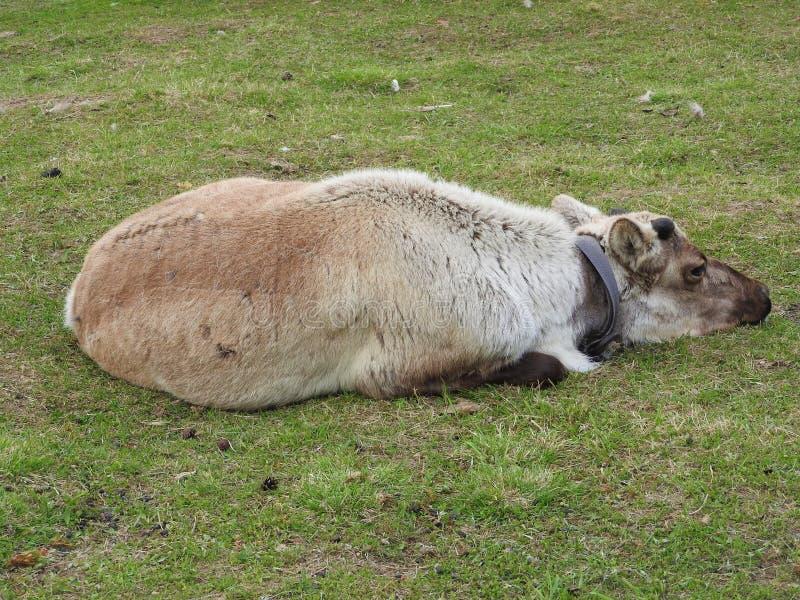 Paisagem com um cervo Yurt, a casa n?madas tradicional para os mongoloides ocidentais no deserto com um c?u azul bonito foto de stock