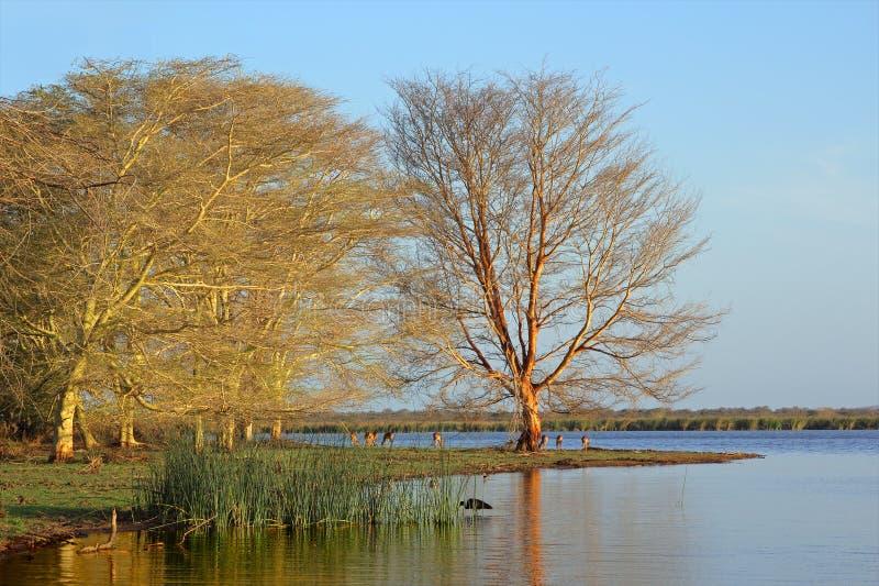 Paisagem da árvore de febre fotografia de stock
