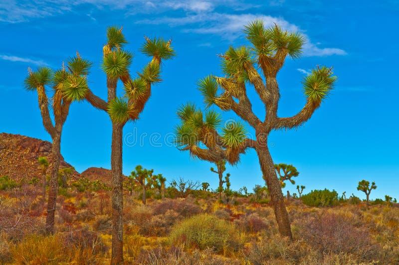 Paisagem da árvore de Joshua foto de stock royalty free
