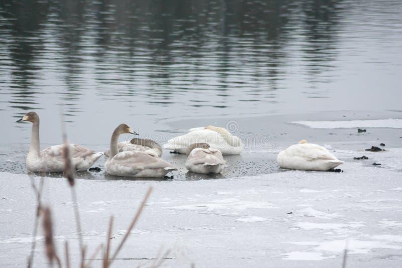 Paisagem da calma do inverno em um rio com as cisnes brancas que dormem no gelo Finlandia, rio Kymijoki imagens de stock royalty free
