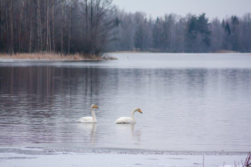 Paisagem da calma do inverno em um rio com cisnes brancas Finlandia, rio Kymijoki imagens de stock