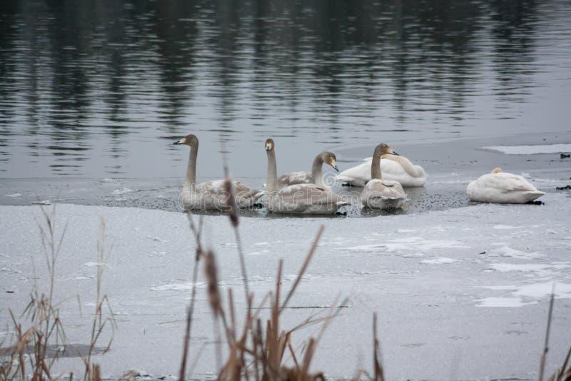 Paisagem da calma do inverno em um rio com cisnes brancas no gelo Finlandia, rio Kymijoki foto de stock