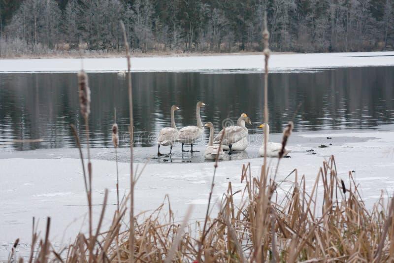 Paisagem da calma do inverno em um rio com cisnes brancas no gelo Finlandia, rio Kymijoki fotos de stock