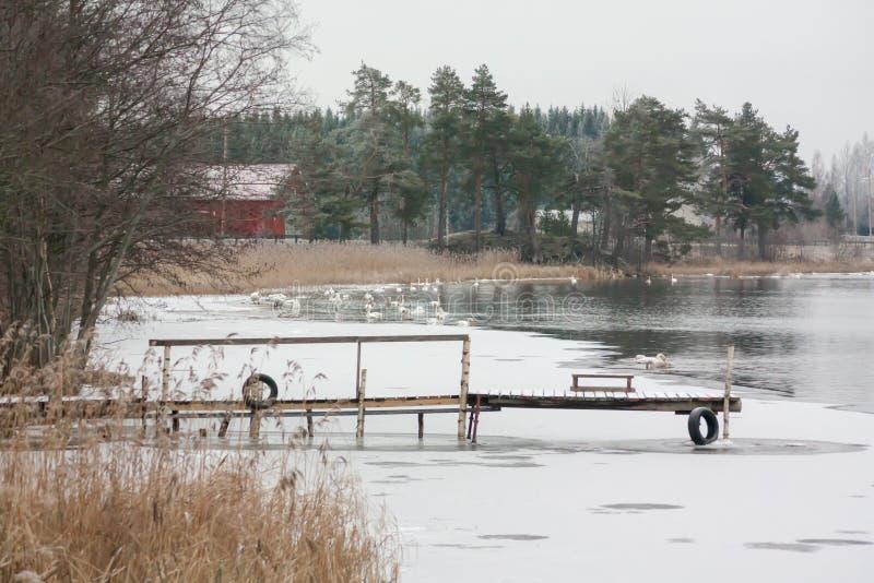 Paisagem da calma do inverno em um rio com cisnes e cais brancos Finlandia, rio Kymijoki fotos de stock
