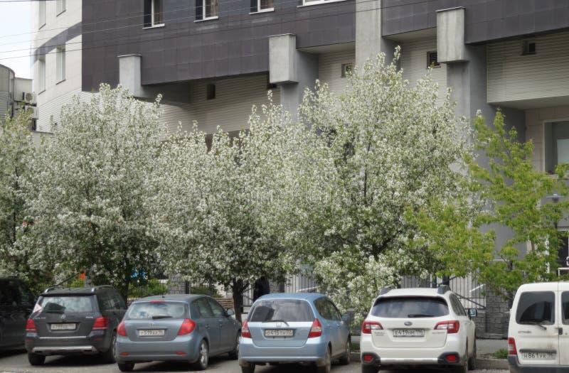 Paisagem da cidade Carros no parque de estacionamento fora da construção na rua 61 de Belinsky Flores de uma árvore de maçã foto de stock royalty free