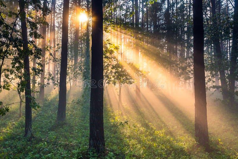 Paisagem da floresta com névoa grossa e raios claros imagem de stock