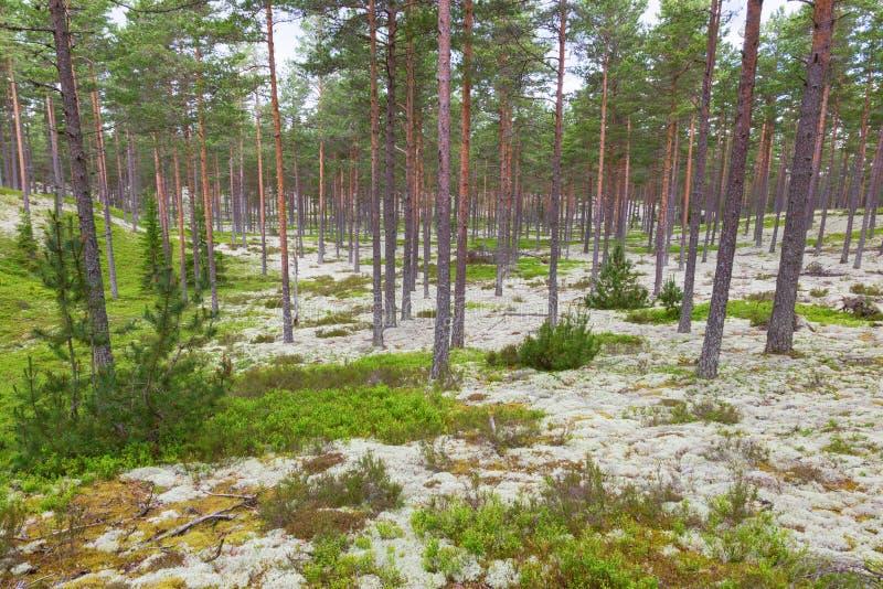 Paisagem da floresta de Taiga imagens de stock