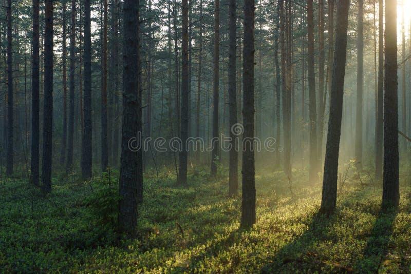 Paisagem da floresta do pinho da manhã iluminada pelo sol do alvorecer foto de stock