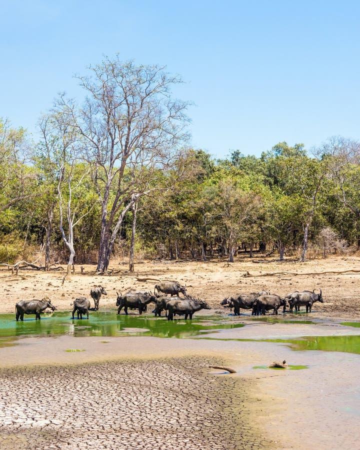 Paisagem da floresta do verão com um rebanho do búfalo asiático selvagem foto de stock