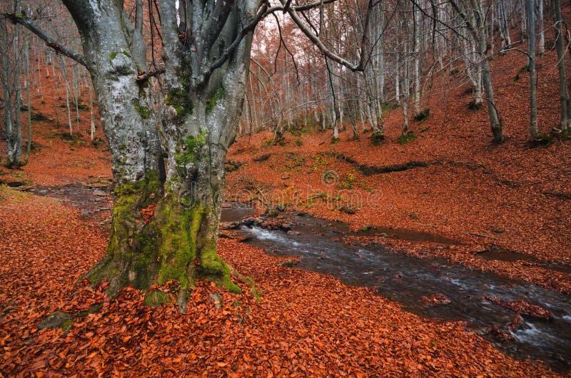 Paisagem da floresta Floresta da faia do outono com muitos troncos de árvore vermelhos caídos da folha e da luz O bosque da faia, fotografia de stock
