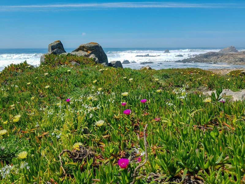 Paisagem da mola com as flores cor-de-rosa e amarelas selvagens de florescência na costa de Oceano Atlântico, Portugal, Europa fotografia de stock royalty free