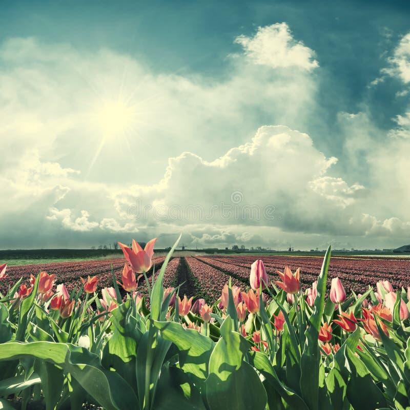 Paisagem da mola com tulips vermelhos foto de stock