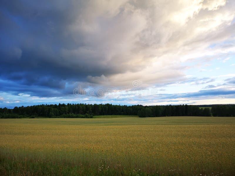 Paisagem da mola do campo de trigo com as nuvens dramáticas na luz - céu azul imagens de stock royalty free