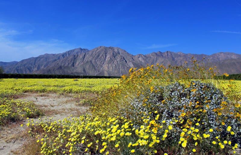 Paisagem da mola do parque estadual do deserto de Anza Borrego com as flores amarelas de Brittlebush fotos de stock royalty free