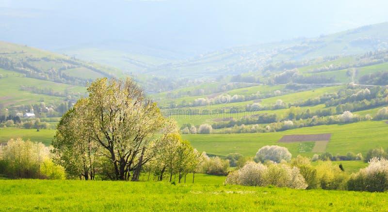 Paisagem da mola: Inclinações de florescência do Carpathi imagens de stock royalty free