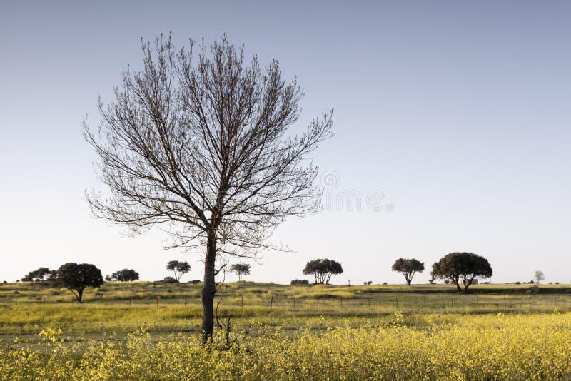 A paisagem da mola isolou a árvore, flores amarelas, céu azul fotos de stock royalty free