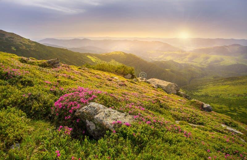 Paisagem da mola nas montanhas com flor de um rododendro fotografia de stock royalty free