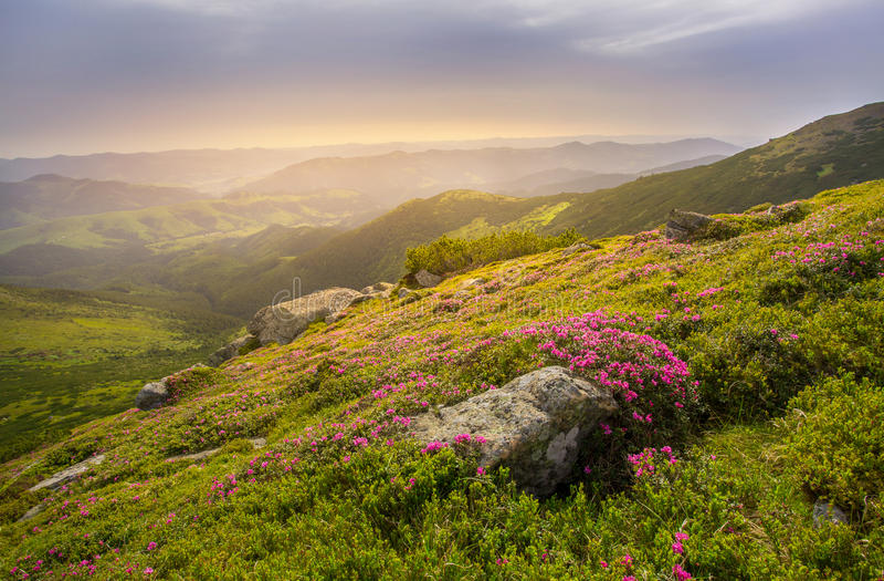 Paisagem da mola nas montanhas com flor de um rododendro imagens de stock