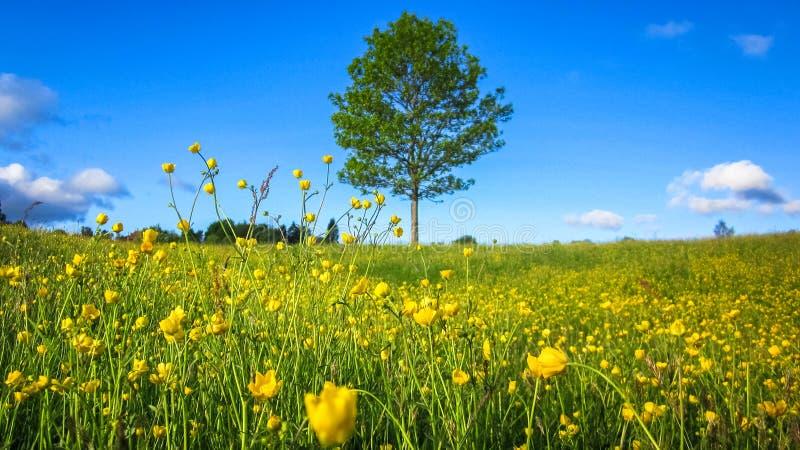 Paisagem da mola da natureza com um campo de flores amarelas selvagens do botão de ouro, de uma árvore solitária e de nuvens bran fotografia de stock royalty free