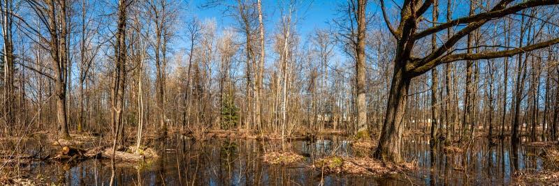 Paisagem da mola Vista panorâmica de uma região pantanosa arborizada Floresta inundada foto de stock