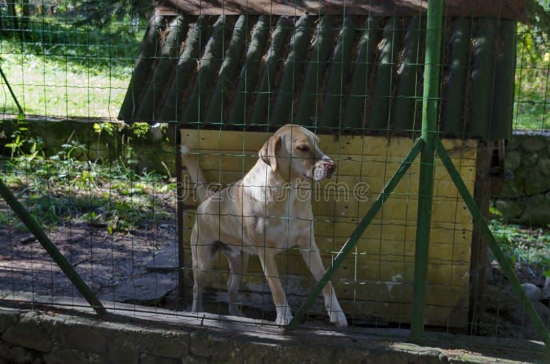 Paisagem da montanha com floresta conífera, clareira e o cão grande labrador retriever no parque velho Tsarska ou Bistritsa real imagens de stock royalty free