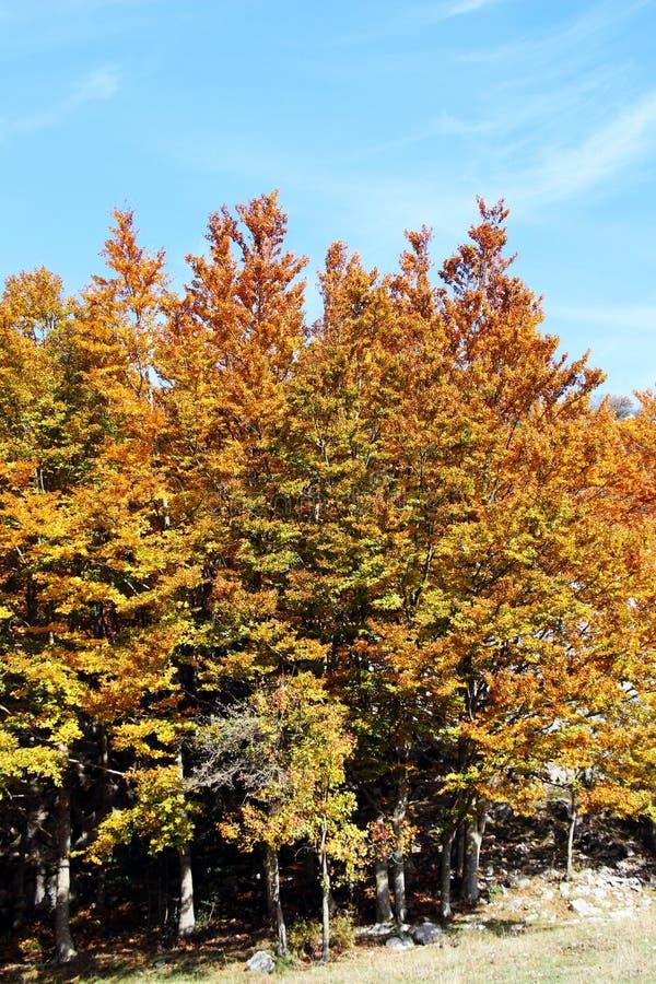 Paisagem da montanha, no outono, com faias imagens de stock royalty free