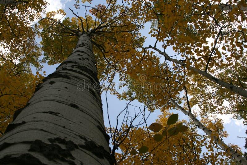 Paisagem da montanha da queda de Aspen Grove imagens de stock