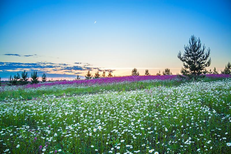 Paisagem da noite da mola com as flores selvagens de florescência no prado imagem de stock