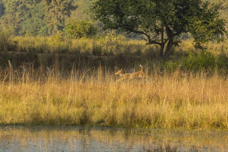Paisagem da selva com pulo de cervos de Chital imagens de stock