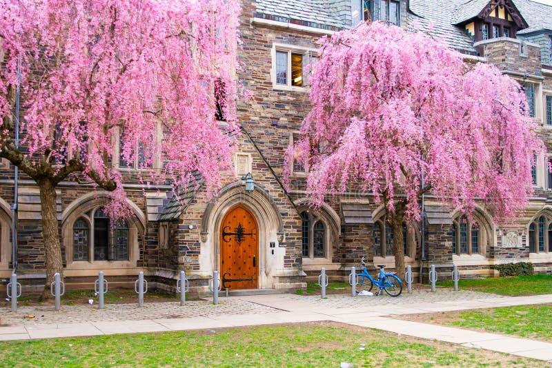 Paisagem da universidade de Rinceton Paisagem de Princeton com árvores cor-de-rosa fotografia de stock