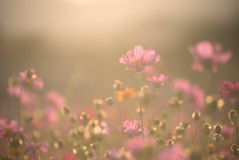 A paisagem das flores do cosmos com luz na jante em tempo de pôr do sol em Chiang Rai, Tailândia foto de stock royalty free