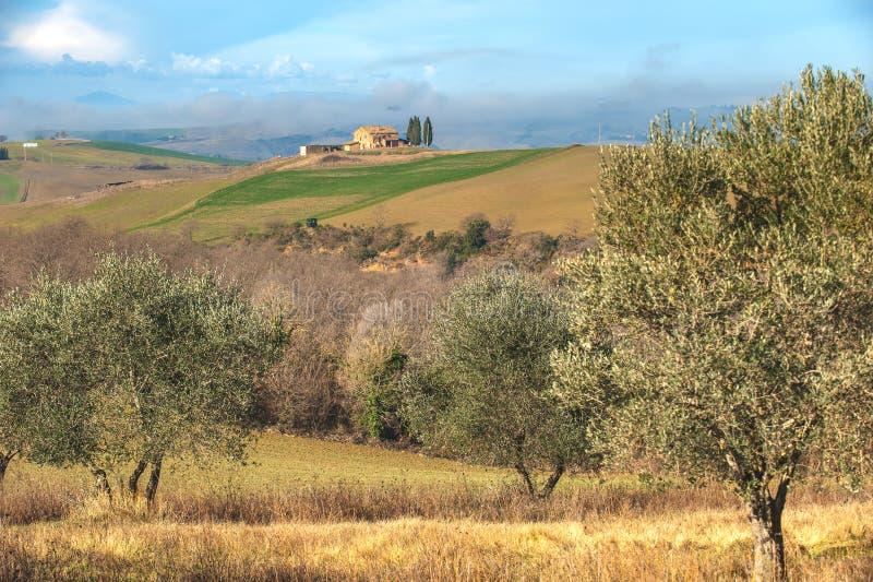 Paisagem das oliveiras na exploração agrícola de Tuscan do fundo fotografia de stock