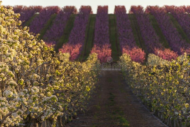 Paisagem de Aitona no por do sol Campo com fileiras da árvore de pêssego e árvores de pera na flor Flores cor-de-rosa e brancas F fotografia de stock royalty free