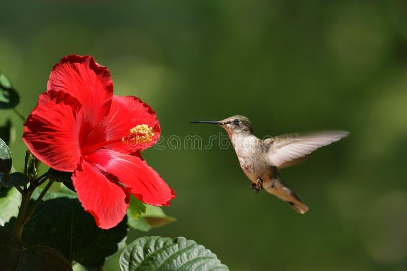 Paisagem de aproximação da flor do pássaro do zumbido imagens de stock royalty free
