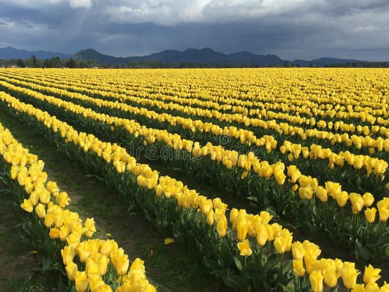 Paisagem de campos amarelos da tulipa em um dia tormentoso foto de stock