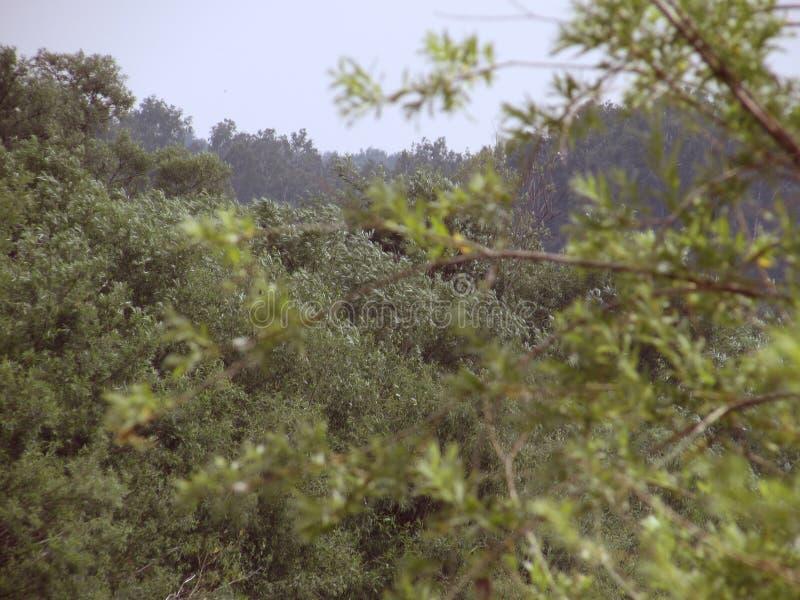 Paisagem de Lesta com a árvore coa muitos ramos alastrando clara no primeiro plano, floresta no fundo fotos de stock