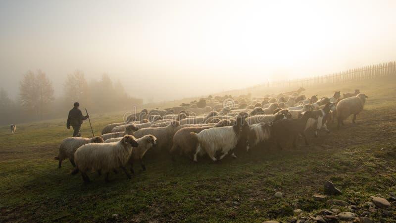 Paisagem de Romênia com carneiros e cabra no tempo do outono na exploração agrícola foto de stock royalty free