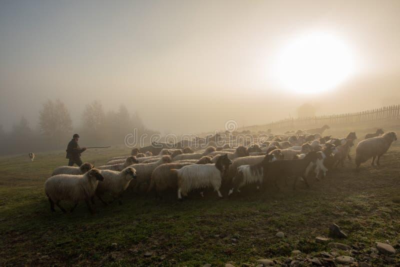 Paisagem de Romênia com carneiros e cabra no tempo do outono na exploração agrícola imagem de stock royalty free