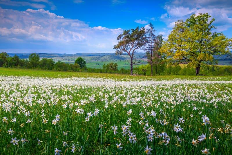 Paisagem de surpresa do verão e flores brancas dos narcisos amarelos na Transilvânia, Romênia imagens de stock