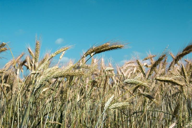Paisagem de um campo de trigo imagens de stock