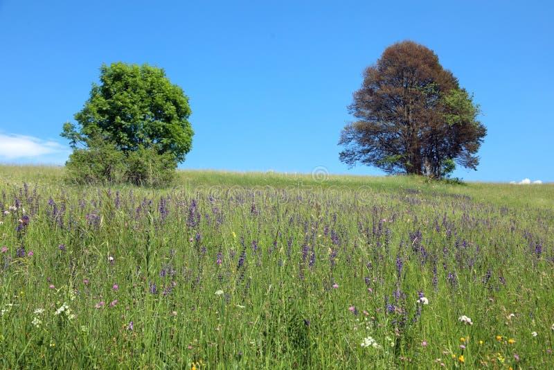 paisagem de verão coberta de capim com duas árvores altas em b fotos de stock