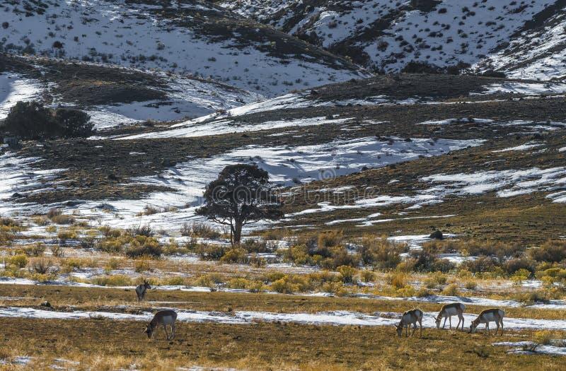 Paisagem de Yellowstone do inverno imagem de stock