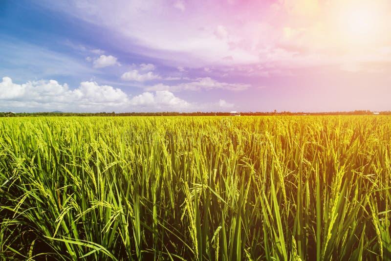 Paisagem do campo do arroz, Paddy Field Landscape foto de stock royalty free