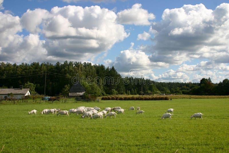 Paisagem do campo com cabras fotografia de stock